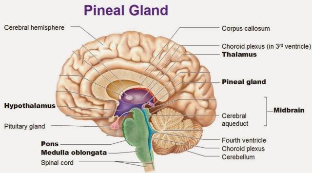 pineal-gland-thalamus-hypothalamus-pituitary-gland-pons-medulla[1]